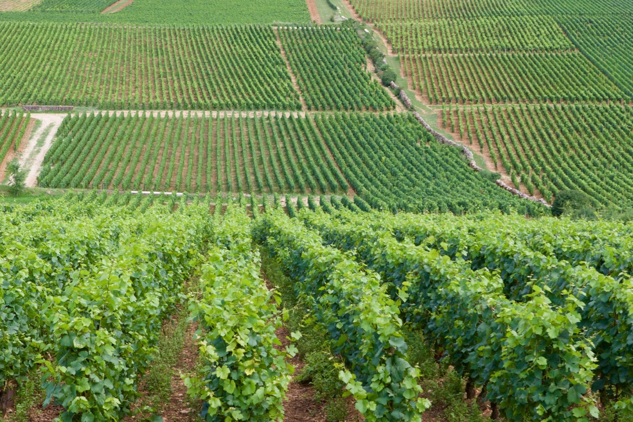 wijnstokken Bourgogne (Pinot Noir)